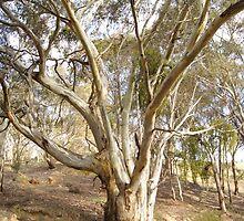Bush Tree by Kristina K