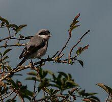 Lesser Grey Shrike by Grandalf