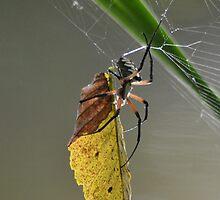 Zipper spider  by Kate Farkas
