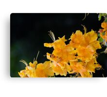 Rhododendron flowers on a black background Canvas Print