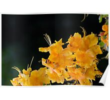 Rhododendron flowers on a black background Poster