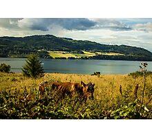 Norwegian Cow  Photographic Print