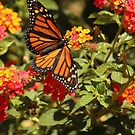 Monarch Butterfly during migration.....October 6,2016 by DonnaMoore