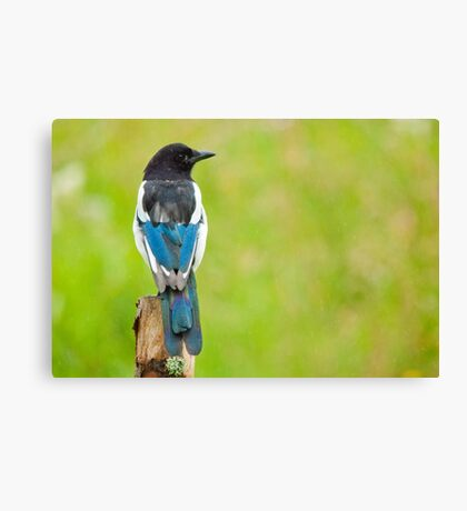 Magpie in the rain Canvas Print