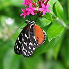 Tiger Long-wing (Heliconius Hecale)  by Poete100