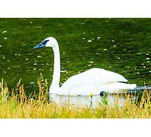 Trumpeter Swan Photographic Print