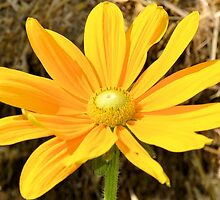 Happy Yellow Flower by Ben Waggoner