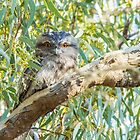 Tawny Frogmouth by Chris Kean