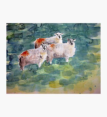 Curious Sheep Photographic Print