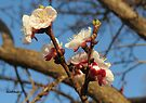 Apricot blossoms by Elizabeth Kendall