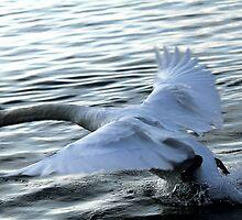 swan on the lake by spetenfia