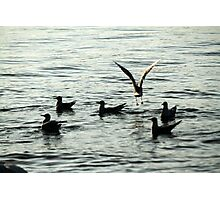 seagull on lake Photographic Print