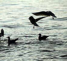 seagull on lake by spetenfia