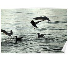 seagull on lake Poster