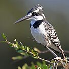A Pied Kingfisher by jozi1
