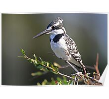 A Pied Kingfisher Poster