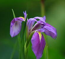 A Prairie Iris by jozi1