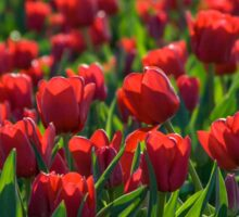 Endless Field of Red Tulips Sticker