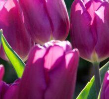Luscious Purple Tulips Sticker