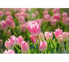 Sea of Sunlit Pink Tulips Photographic Print