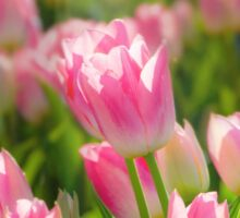 Sea of Sunlit Pink Tulips Sticker