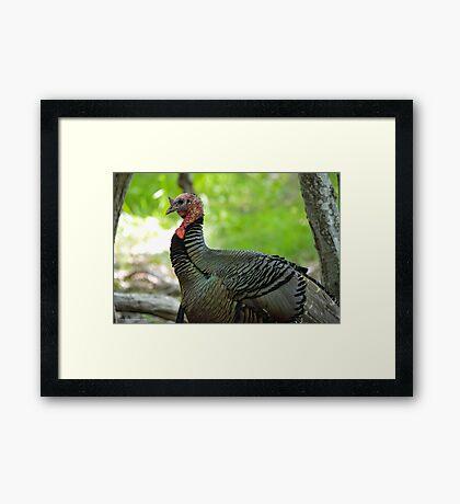 Meleagris Gallopavo - Wild Turkey | Noyack, New York Framed Print