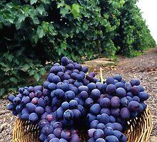 Grape Vineyard  by BravuraMedia