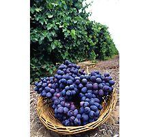 Grape Vineyard  Photographic Print