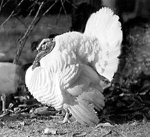 Black and White Turkey by BravuraMedia