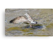 Seagull taking off from water  Canvas Print