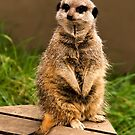 Meerkat by Country  Pursuits