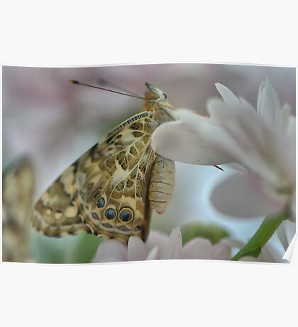 Painted lady butterfly on chrysanthemum Poster