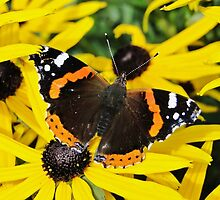 Vanessa Atalanta on Rudbeckia by Barrie Woodward
