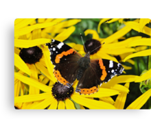 Vanessa Atalanta on Rudbeckia Canvas Print