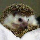 African Hedgehog by missmoneypenny