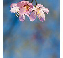 Cherry Bossom Photographic Print