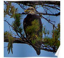 Bald Eagle on Lake Glenville Poster