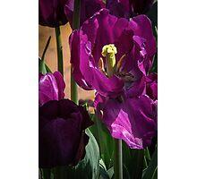 One centre part of Dark Purple Tulips at Tesselaar Victoria Australia 20160923 7543  Photographic Print