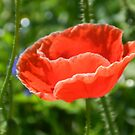 Red Poppy Pop by Marijane  Moyer