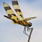 Dragonfly 2  by Robin Clifton