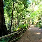 Muir Woods III by Miriam Gordon