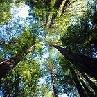 Redwoods by Miriam Gordon