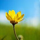 buttercup  by Miriam Gordon