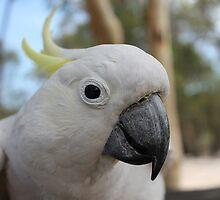 Sulphur Crested Cockatoo by DevineNature