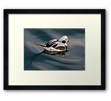 Sad Looking Male Long Tail Duck Framed Print