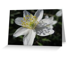 Single White Wood Anemone Greeting Card