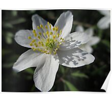 Single White Wood Anemone Poster