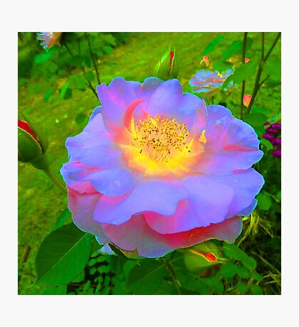 Funky Rose Violet & Pink Photographic Print