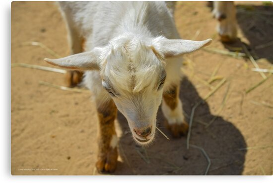 Young Pygmy Goat | Center Moriches, New York by © Sophie W. Smith