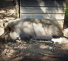 *Mrs. Porker - taking Life Easy - Gordon, Vic. Aust.* by EdsMum